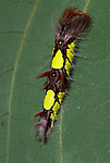 Morpho peleides Butterfly, Caterpillar, 4th instar, larvae, yellow and red colour, South & Central America