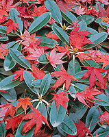 Vashon Island, WA  <br /> Autumn red leaves of a Blood Good maple (Acer palmatum 'blood good') decorate the tops of a rhododendron (Yakushimanum hybrid)