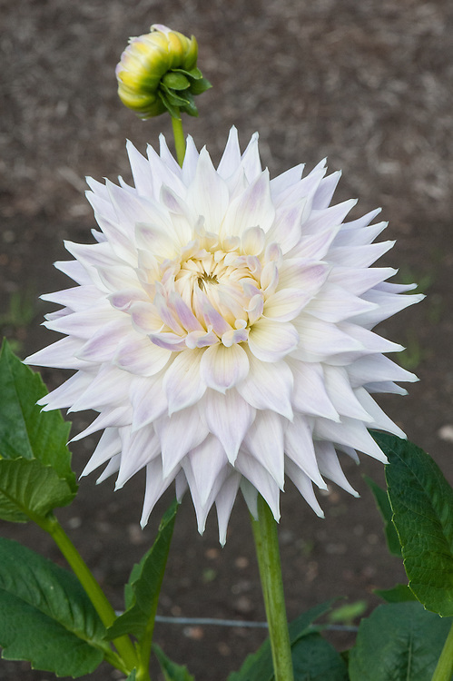 Dahlia 'Clearview Edie', early September. A white Large Semi-Cactus Group dahlia with a pink blush to its petals.