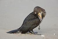 Great Cormorant; Phalacrocorax carbo; fish tackle stuck in throat;  NJ, Gateway National Recreation Area, Sandy Hook