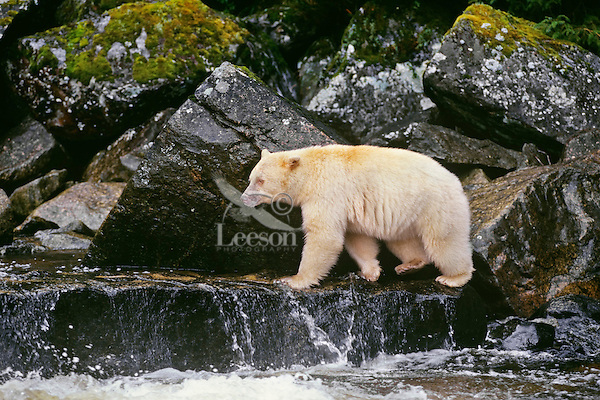 Kermode Black Bear (Ursus americanus kermodei) along coastal British Columbia salmon stream.  Sept.  Princess Royal Island.