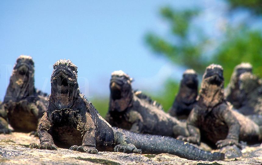 Galapagos marine iguanas, Amblyrhychus subcristatus bask in the equatorial sun. Galapagos marine iguanas, Amblyrhychus subcristatus. Punta Espinosa, Fernandina Isl. Galapagos Islands Ecuador Pacific Ocean, 650 miles west of S. Am.