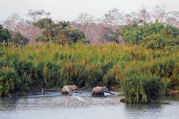 Asian elephant or Indian elephant (Elephas maximus), Kaziranga National Park, India.