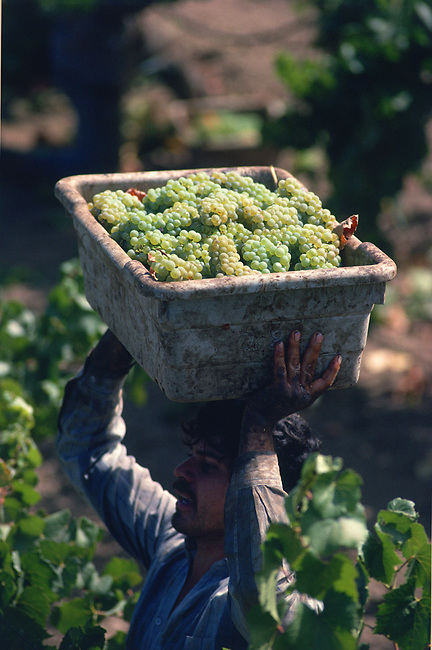 Harvest of chardonnay grapes