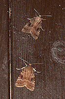Pyramideneule, Pyramiden-Eule, Amphipyra pyramidea, Copper Underwing, Humped Green Fruitworm, Pyramidal Green Fruitworm, Eulenfalter, Noctuidae