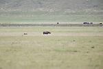 Black Rhino, Ngorongoro