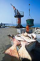 Halibut fishermen offload catch after a Pacific Halibut fishing opener, Bering sea, St. Paul Island, Pribilof Islands, Alaska