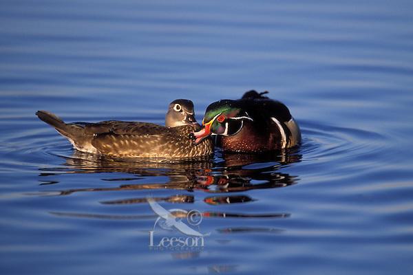 Wood Duck drake and hen in courtship exchange..British Columbia, Canada. (Aix sponsa).