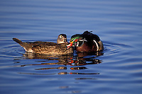 Wood Duck drake and hen in courtship exchange..British Columbia, Canada. (Aix sponsa).