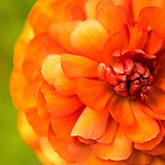 close-up image of orange ranauculus with green background