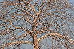 Cape Chestnut (Calodendrum capense), not a true chestnut, Katavi National Park, Tanzania