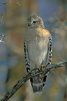 Red-Shouldered Hawk, Ding Darling NWR, Florida