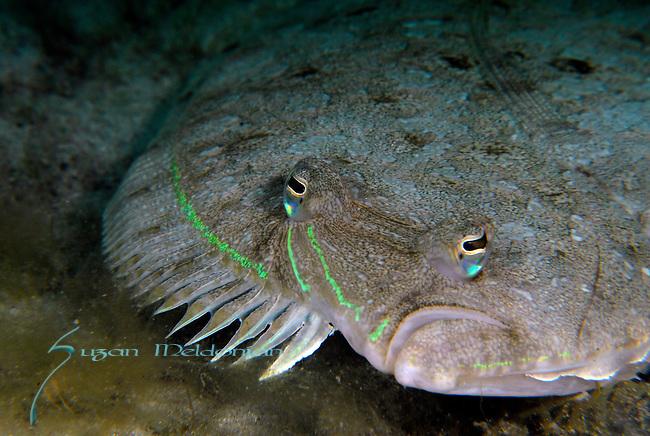 Flounder, Spot tail,  Bothus Robinsi, Flounder with bright green outline,Mating display colors,  Underwater Marine life Behavior, Blue Heron Bridge, Lake Worth Inlet, Riviera, Florida, USA, Intra Coastal Waterway, North Atlantic Ocean.2-28-9-20
