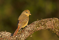 Summer Tanager (Piranga rubra), female, South Padre Island, Texas, USA