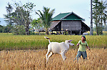 Korb Thouen cares for her cow as she harvests her rice in Thnort Rorleung, a village in the Kampot region of Cambodia. She has used organic fertilizer to improve her soil fertility and increase her harvest.