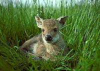 Chinese Water Deer Hydropotes inermis Shoulder height 55-60cm Small, secretive deer. Adult is reddish buff in summer, greyish brown in winter. Black nose contrasts with otherwise white muzzle. Beady black eyes have white surround. Ears are large and antlers are absent in both sexes. With age, the upper canines develop into projecting tusks; longer in male than female. Fawn is reddish brown with white spots. Barks and screams in alarm. Males have a whistling call during rut. Escaped from Whipsnade Zoo early in 20th Century. Feral British populations now found from Buckinghamshire to East Anglia. Favours marsh habitats including fens and reedbeds.