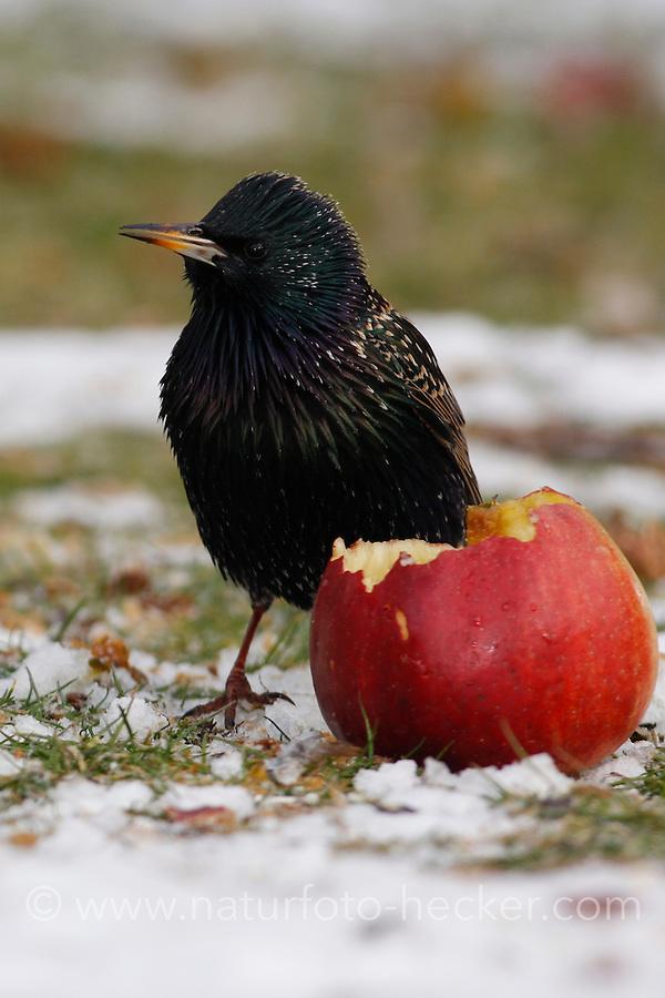 Star, frisst im Winter ausgelegte Äpfel, Fallobst, Vogelfütterung bei Schnee, Sturnus vulgaris, European starling
