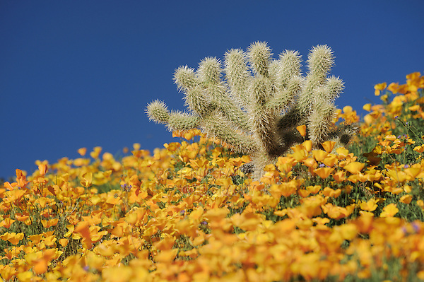 Teddy Bear Cholla Cactus (Opuntia bigelovii) in field of Mexican Gold Poppy (Eschscholzia californica mexicana), Tonto National Forest, Bartlett Lake , Arizona, USA