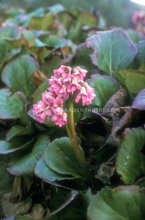 Bergenia purpurascens var. delavayi in pink flowers