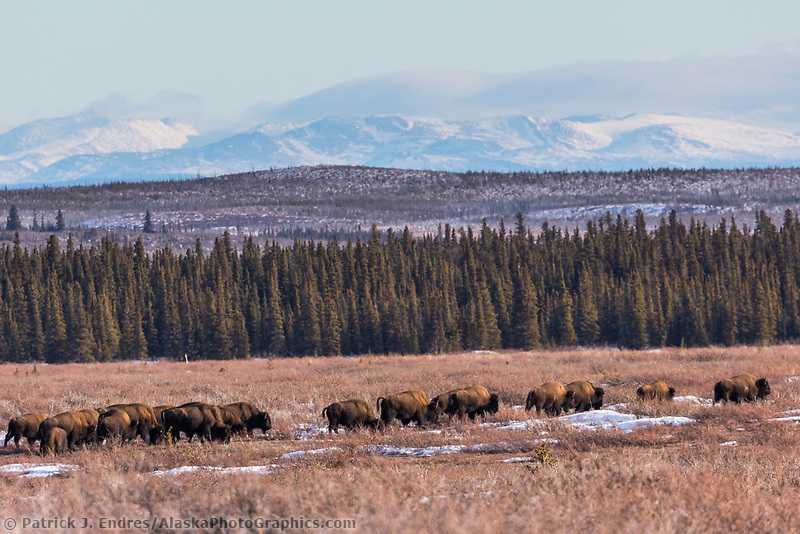 The American plains bison roamed Alaska in large numbers many years ago but the small numbers that roam wild now are the result of a transplanted group from Montana in 1928. There are few small wild herds in Interior Alaska in conjunction with some domestic herds. Wild bison south of Delta Junction, Interior, Alaska.