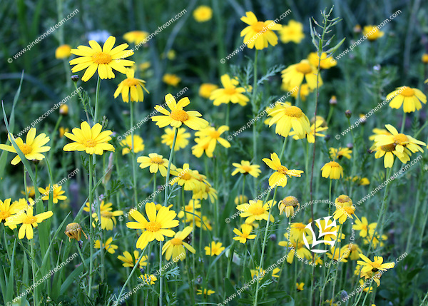 Field of wild yellow daisies in Cyprus.