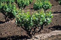 Océanie/Australie/Australie Méridionale/Barossa Valley : Le vignoble, les plus anciens pieds de vigne d'Australie chez Bethany, cépage Syrah