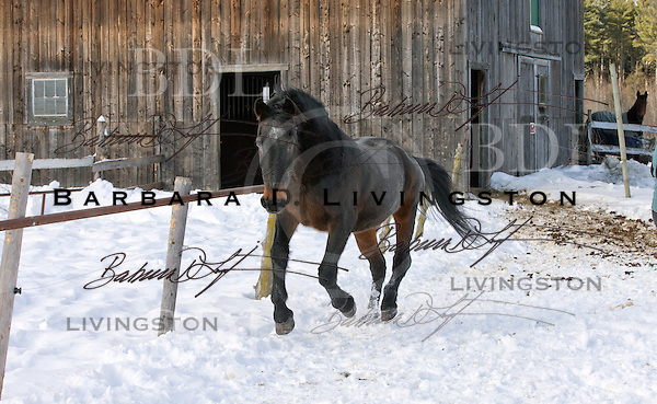Waco Hanover (by Tar Heel), certainly one of the oldest Standardbreds in the country, at age 36 in Randolph Center, Vermont. 2013.