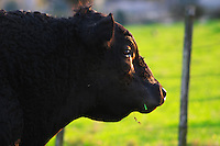 A black angus bull head in profile with a green grass straw in the mouth, that will at some later time in their life go to the famed Uruguay barbecue Asado. Evening setting sun. Montevideo, Uruguay, South America