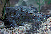 Morelet's crocodile, Central American crocodile, or Belize crocodile, Crocodylus moreletii (c) (endangered), native to Caribbean coast of Central America from Mexico to Guatemala,