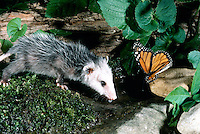 Baby possum drinks and monarch butterfly drinks each in their own way from a garden water puddle