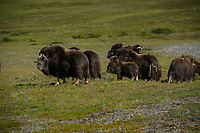 Muskox graze on the tundra beneath the Anvil Mountain White Alice site near Nome, Alaska. White Alice sites were over-the-horizon radio communications transmitters used for communications between DEW Line radar sites during the Cold War. Photo by James R. Evans