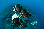 Schooling Teira batfish (Platax teira)