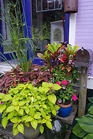 Container shade garden using tropical plants, annuals, and houseplants, combination mix of foliage plants and flowers, next to house and mailbox, steps, hosta, coleus, ipomoea, codiaeum, papyrus, impatiens.