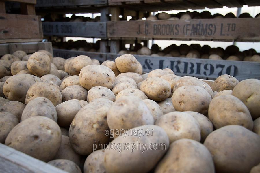 Marfona potato seed in chitting trays - December