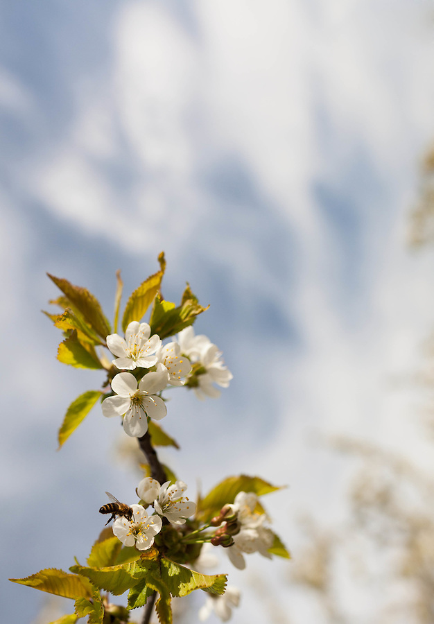 A cherry tree branch covered in white flowers points the way to a blurred background of blue sky and white clouds with a honeybee landing in one of the flowers.