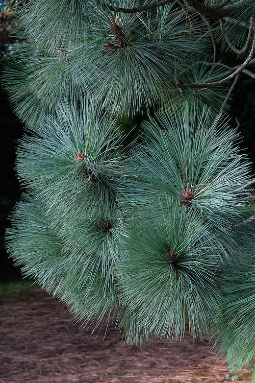 Montezuma pine (Pinus montezumae), late October.  A large conifer native to Mexico and Central America, where it is known as ocote.