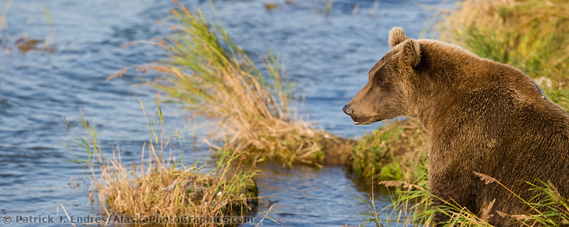 Brown bear sow along the Brooks River, Katmai National Park, Alaska.