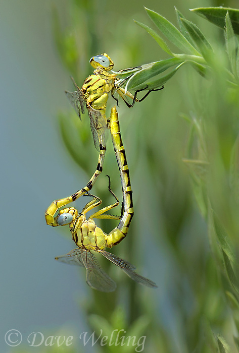 333920016 a wild pair of brimstone clubtails stylurus intricatus in mating position or in wheel perch on a plant stem near the drew road canal west of el centro imperial county california