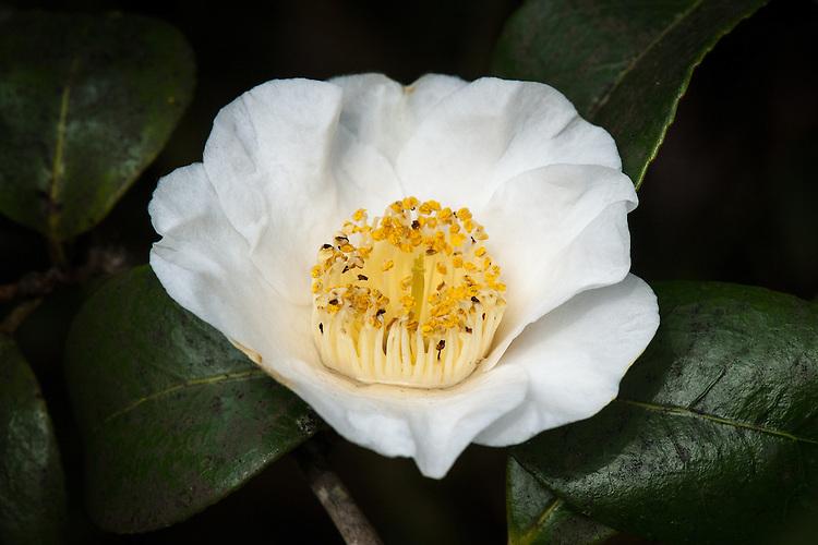 Camellia japonica 'Devonia', late March.