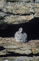 Mountain Cottontail (Sylvilagus nuttalii), adult on rock ledge, Rocky Mountain National Park, Colorado, USA