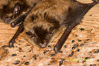 MA20-647z  Little Brown Bats, Myotis lucifugus