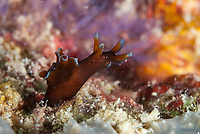 Freckled Sea Hare, Aplysia parvula, Sea Ventures dive site, Mabul Island, near Sipadan Island, Sabah, Malaysia, Celebes Sea