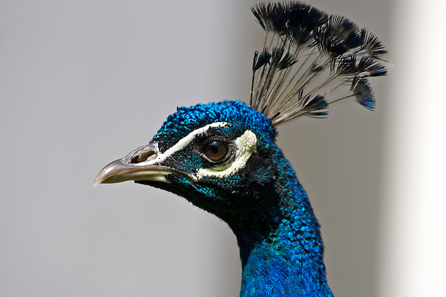 Wildlife photography, peacock