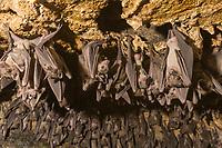 Fruit bats hang in cave, Queen Elizabeth National Park, Uganda, East Africa