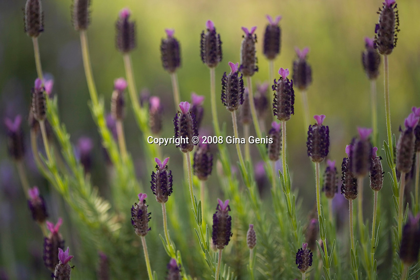 Wild lilacs