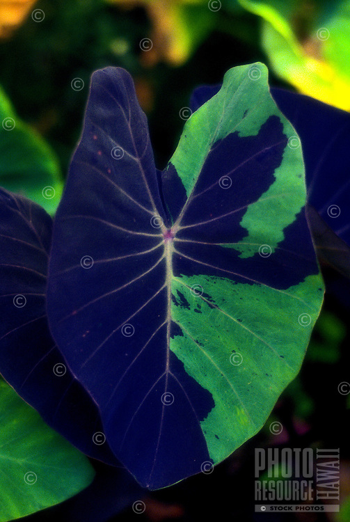 Close-up of a broad, green varigated taro leaf, sacred in native Hawaiian culture.