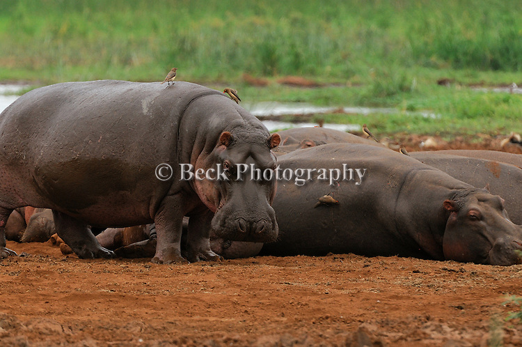 Hippos laying down in Africa