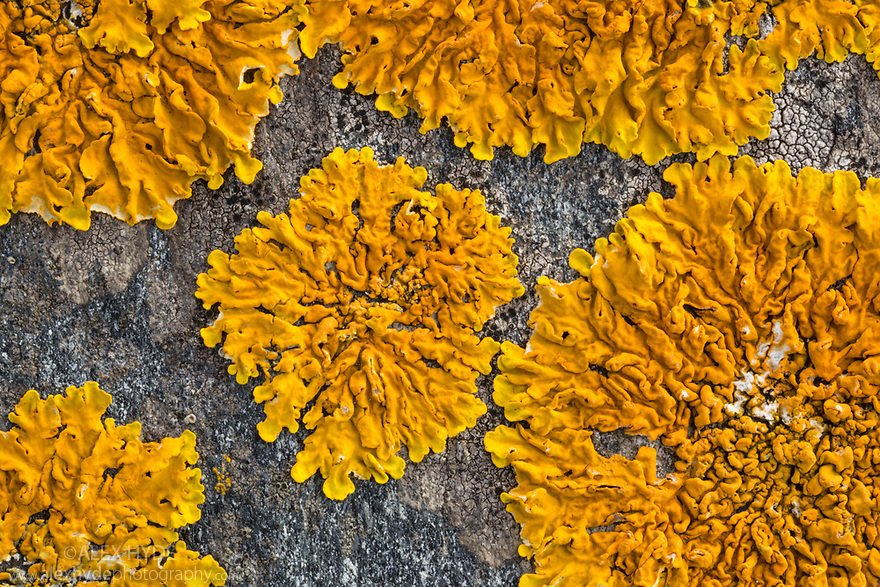 Xanthoria aureola lichen, Cornwall, UK. September.