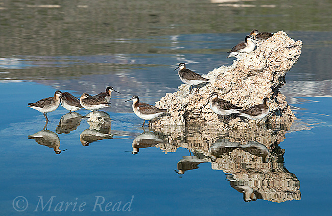 Wilson's Phalaropes (Phalaropus tricolor), flock resting on partly-submerged tufa formation Mono Lake, California, USA