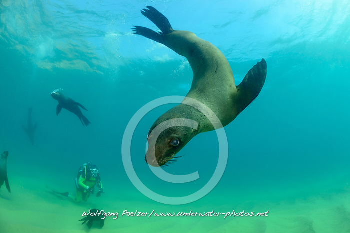 Arctocephalus pusillus, Suedafrikanicher Seebaer und Taucher, South African fur seal and scuba diver, Plettenberg Bay, Suedafrika, Indischer Ocean, South Africa, Plettenberg Bay,  Indian Ocean, MR Yes